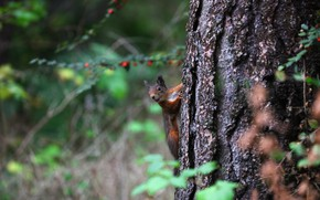 Picture forest, look, leaves, branches, nature, pose, background, tree, protein, muzzle, trunk, animal, red, bark, squirrel, …