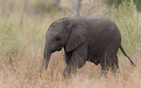 Picture nature, elephant, Africa