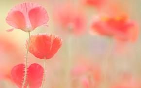 Picture light, flowers, Maki, blur, pink, gently, al, poppy field