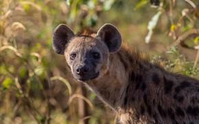 Picture look, face, light, portrait, hyena