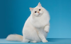 Picture cat, white, cat, look, pose, background, blue, muzzle, Studio
