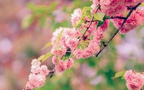 Picture branch, spring, Sakura, flowering