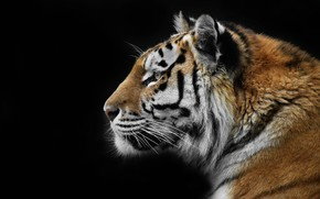 Picture nature, tiger, background, beast