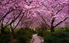 Wallpaper trees, petals, garden, Sakura, track, flowering, the bushes