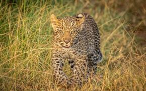 Picture grass, leopard, cub, wild cat