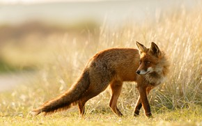 Picture field, grass, look, light, nature, pose, background, light, Fox, red, Fox, Fox