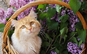 Picture cat, cat, look, face, leaves, flowers, branches, spring, red, basket, lilac