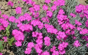 Picture flowers, bright, carnation, Meduzanol ©, summer 2018