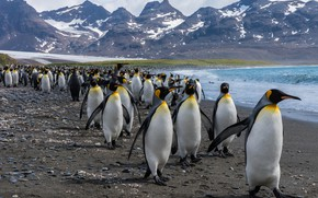 Picture sea, mountains, birds, shore, pack, penguins, team, pond, a lot, Antarctica, society, party, step