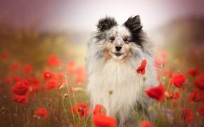 Picture flowers, Maki, dog, bokeh, Sheltie, Shetland Sheepdog