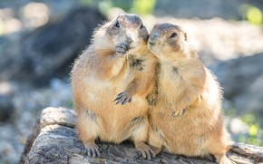 Picture light, a couple, friends, gopher, two, gophers, rodents