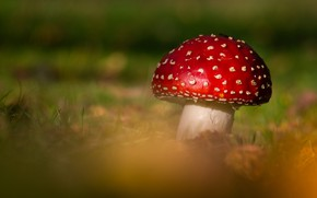 Picture red, green, background, mushroom, mushroom, bokeh