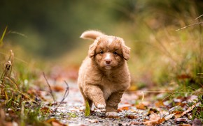 Picture autumn, leaves, nature, background, foliage, dog, baby, puppy, walk, face, bokeh, Retriever, Nova Scotia duck ...