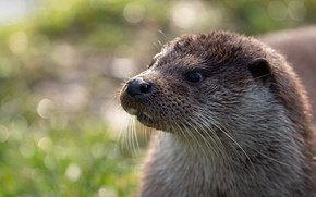 Picture look, face, light, background, portrait, bokeh, otter, river