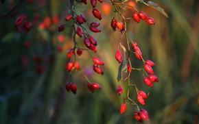 Picture autumn, branches, fruit, briar, bokeh