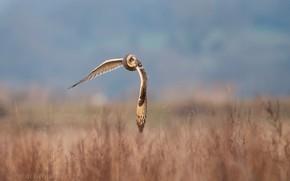 Picture field, grass, the sun, nature, owl, bird, wings, flight, bokeh, Short-Eared Owl