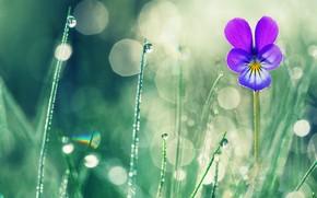 Picture flower, summer, grass, drops, macro, nature, Rosa, bokeh, violet, Valentin Valkov