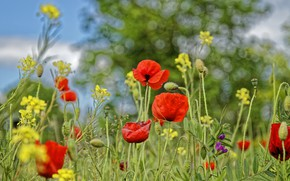 Picture summer, flowers, Maki, meadow, red, field, different, bokeh, rape