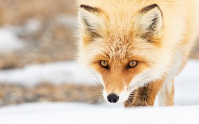 Picture face, snow, Fox, red, bokeh