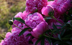 Picture flowers, nature, peonies