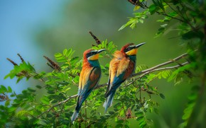 Picture leaves, birds, branches, nature, pair, bee-eaters