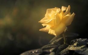 Picture leaves, drops, rose, bokeh