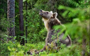 Picture look, nature, pose, spruce, bear, sitting, bokeh, brown, looking up