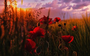Picture field, the sky, grass, the sun, clouds, flowers, Maki, bokeh