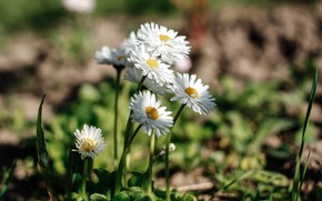 Picture light, flowers, chamomile, white, bokeh, Daisy, Bush