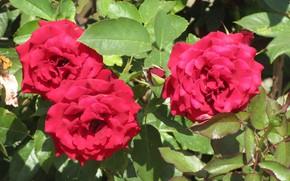 Picture roses, red roses, Meduzanol ©, summer 2018