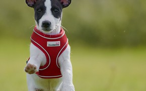 Picture background, dog, walk, doggie, vest, Jack Russell Terrier