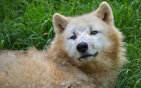 Picture white, grass, look, face, wolf, portrait, lies, happy, Arctic, polar