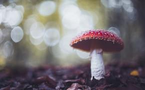 Picture autumn, leaves, nature, mushroom, mushroom, bokeh
