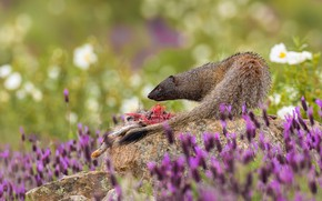 Picture summer, look, flowers, pose, stones, predator, profile, mining, mongoose
