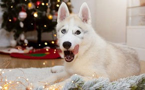 Picture language, white, look, pose, room, dog, lights, Christmas, puppy, New year, Mat, tree, face, needles, …