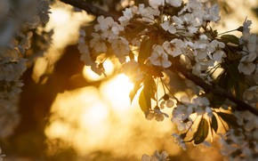 Picture the sun, light, flowers, background, mood, branch, spring, white, flowering, bokeh, spring, fruit tree