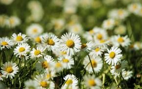 Picture grass, chamomile, a lot