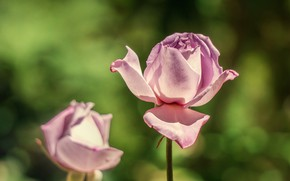 Picture flowers, roses, pink, buds, green background, lilac, bokeh