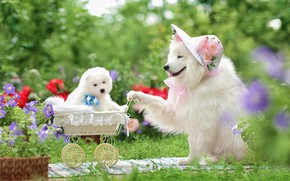 Picture dogs, flowers, stroller, puppy, hat, walk, family portrait