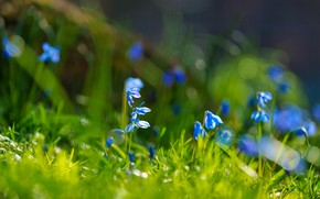 Picture flowers, spring, blue