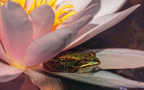 Picture flower, macro, light, lake, pond, pink, frog, petals, pond, Nymphaeum, water Lily
