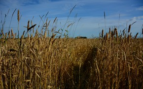 Picture wheat, field, summer, the sky, landscape