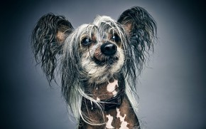 Picture face, background, portrait, dog, shaggy, Chinese crested dog