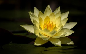 Picture flower, the dark background, Lily, pond, yellow, Nymphaeum, water Lily