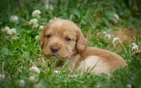 Picture grass, look, baby, puppy, face, doggie, clover