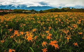 Picture greens, field, summer, the sky, clouds, flowers, mountains, thickets, hills, Lily, field, meadow, Asia, houses, …