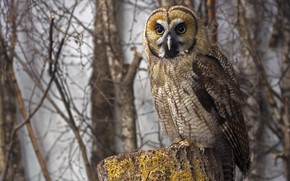 Picture forest, look, branches, nature, owl, bird, stump