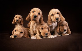 Picture dogs, background, puppies, Cocker Spaniel