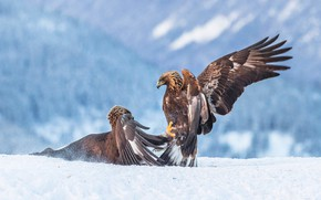 Picture winter, look, snow, mountains, birds, nature, pose, eagle, two, wings, paws, battle, pair, claws, eagle, …