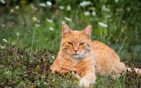 Picture cat, summer, grass, cat, look, face, flowers, nature, pose, stay, glade, paws, red, lies, striped, …